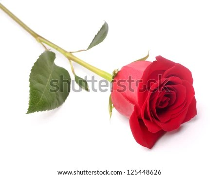 The studio photo of a red rose on a white background. - stock photo