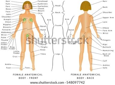 Female Body Back Surface Anatomy Human Stock Vector ...