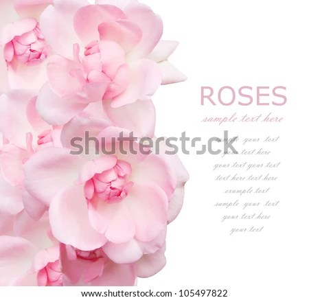 Tea Rose Stock Images Royalty Free Images Amp Vectors
