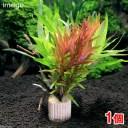 (水草)ライフマルチ(茶) 有茎ミックス クリスマスカラー(水中葉)(1個)