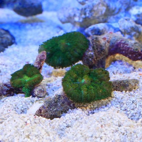 バブル ディスク カリビアン ディスクコーラルが初心者におススメのサンゴな理由!しかも超キレイな種類も。 Aqua