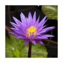 (ビオトープ)睡蓮 熱帯性睡蓮(スイレン)(青紫) スター オブ ザンジバル(1ポット)