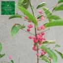 マユミ 赤実 H700〜900mm 鉢底より 植木 苗