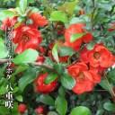 クサボケ 八重咲 3.5号ポット苗 【ハナヒロバリュー】