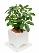 シェフレラ(カポック) ホワイトアーチポット観葉植物 モダン
