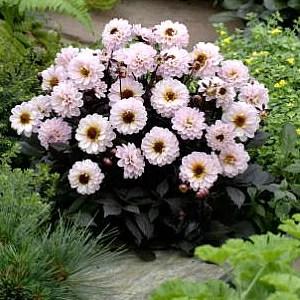 ガーデンプチ ダリア ハミングブロンズ トレゾア 1株 宿根草 切り花 寄せ植え イングリッシュガーデンに