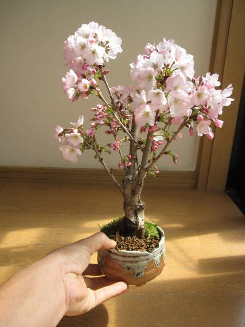自宅でさくらのお花見を2021年4月頃に自宅で桜のお花見桜盆栽さくらのお花見が楽
