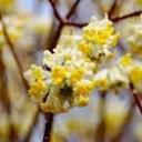 ■良品庭木■ミツマタ黄花3.5号ポット苗