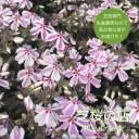 芝桜(シバザクラ)キャンディストライプ(多摩の流れ) 10株セット 3号 9センチポット 芝桜専門店なので高品質 最安値! 春 ガーデニング