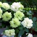 ミニバラ 『 グリーンアイス 』9cmポット苗 (四季咲き)【 2個セット 】