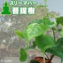 インド菩提樹 『 スリーマハー・ボダイジュ 』 12cmポット苗