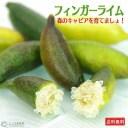 フィンガーライムの栽培·育て方を解説【原産国と日本の環境を比較して分かったこと】 848