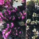 エリカ ダーレンシス 桃色&白花2色から選べる 3号鉢 Erica darleyensis 花苗 宿根草