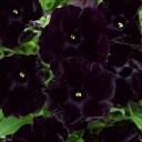 花苗 春 ペチュニア ブラックチェリー 1鉢3.5号【お届け中】Petunia debonea Black Cherry 花の苗 ペチュニア 苗 春 花壇 寄せ植え 庭植え 鉢植え【0430】