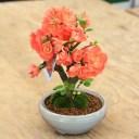 小品盆栽:品種が選べる春放花(瀬戸焼白鉄鉢)*木瓜 ボケ【ぼんさい】【ボンサイ】【送料無料】