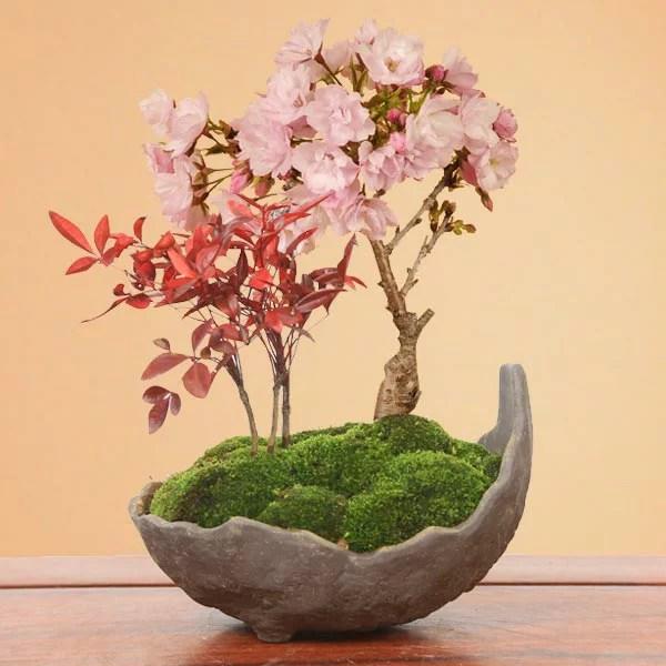 桜盆栽:桜・南天寄せ植え(くらま鉢)*【2021年開花終了】【送料無料】【さくら