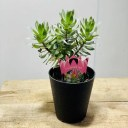おしゃれ 観葉植物 苗 鉢花:ミメティス クラッカージャックシルバー *5号 プラポット