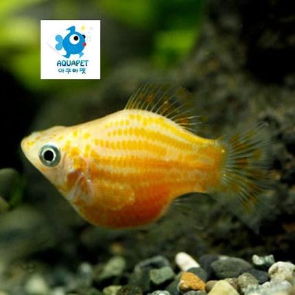 [아쿠아펫 열대어 물고기 세트]풍선몰리 [암컷5마리]색상랜덤발송, 1개