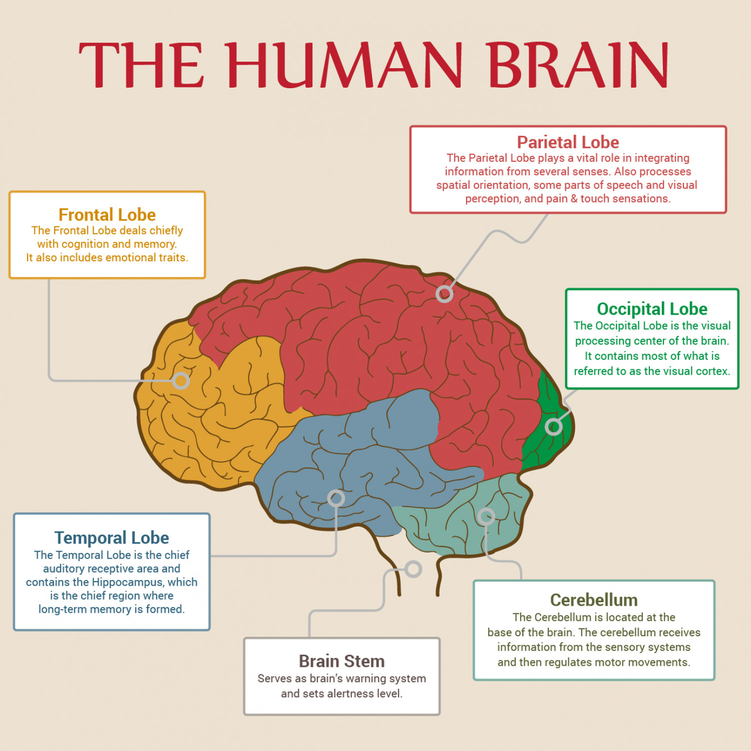 Major Parts Of Human Brain