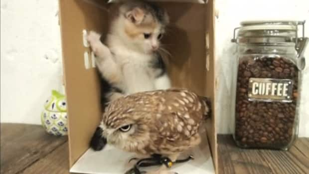 Owl And Kitten Have Unlikely Friendship Cbc Player
