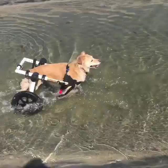 Dog In Wheelchair Plays In Ravine