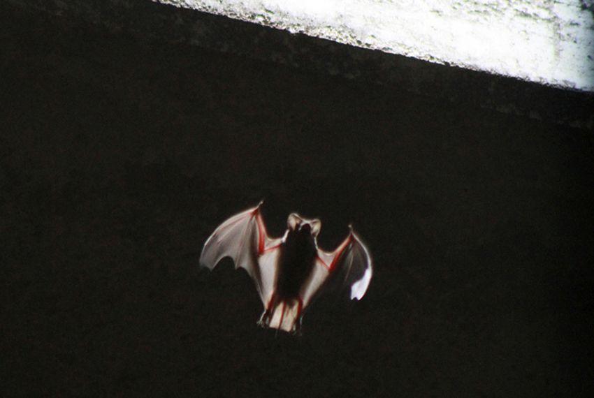 A bat emerging from below the Congress Street Bridge near downtown Austin on July 27, 2011.