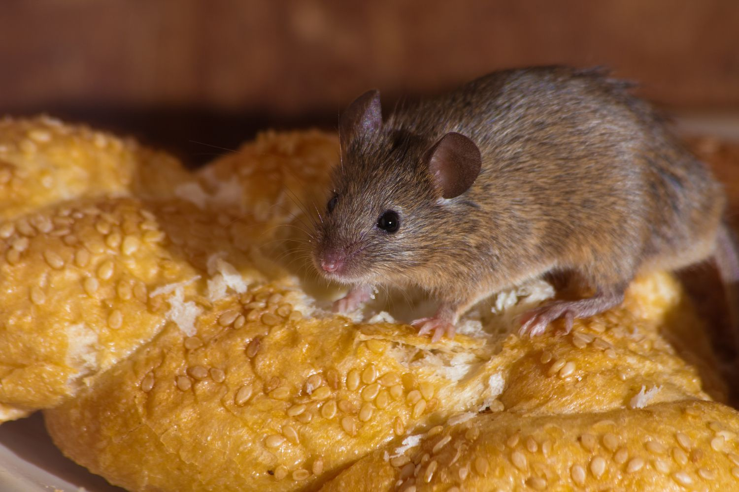 Best Way To Get Rid Of Mice Popular Science