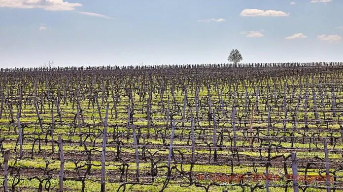 Vineyards in Stefan Voda in Moldova