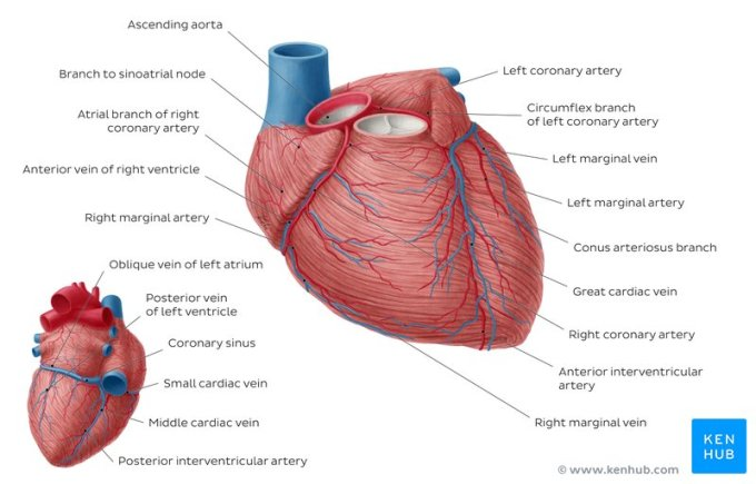 coronary-arteries-and-cardiac-veins_english.jpg (800×512)