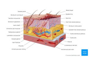 Integumentary System  Definition, Diagram, & Function
