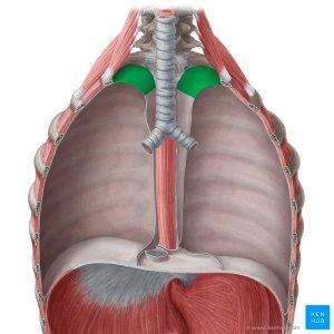 Pleural Cavity  Anatomy and Clinical Aspects | Kenhub