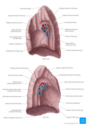 Hilum of the lung  Anatomy & Clinical Aspects   Kenhub