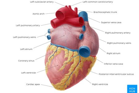 branches of left pulmonary artery » Full HD Pictures [4K Ultra ...