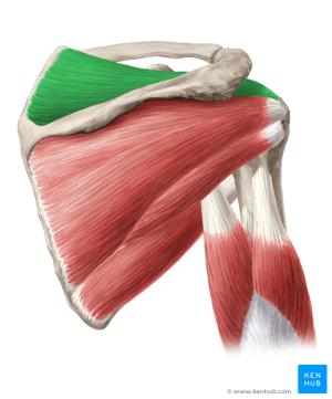 Supraspinatus muscle (Musculus supraspinatus) | Kenhub