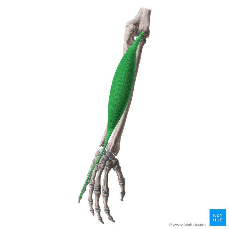 Dorsal Hand Tendon Anatomy