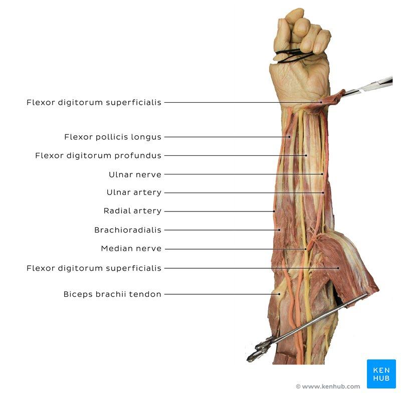 Upper extremity anatomy: Bones, muscles and nerves | Kenhub