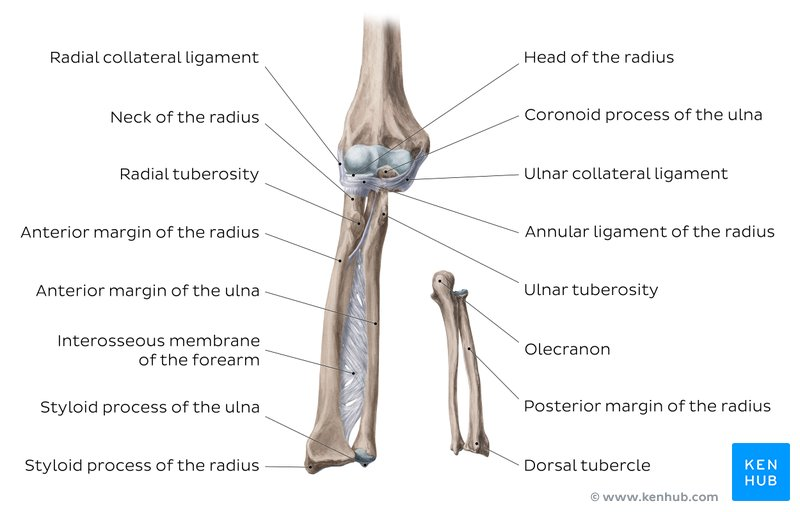 Learn the radius and ulna: Quizzes and labeled diagrams ...
