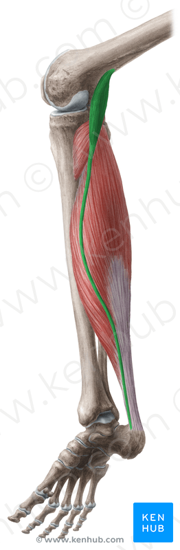Plantaris Tendon Ligament Or Muscle