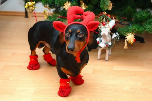 Cute Christmas Animals 14 630x418 55 Pictures of Funny Animals Cutely Enjoying Christmas