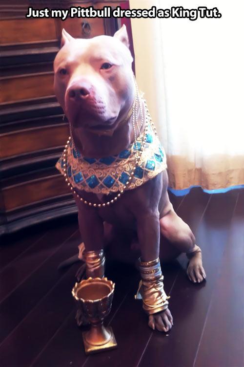 funny pitbull dog dress Egyptian king1 Pitbull Dog Quotes Tumblr