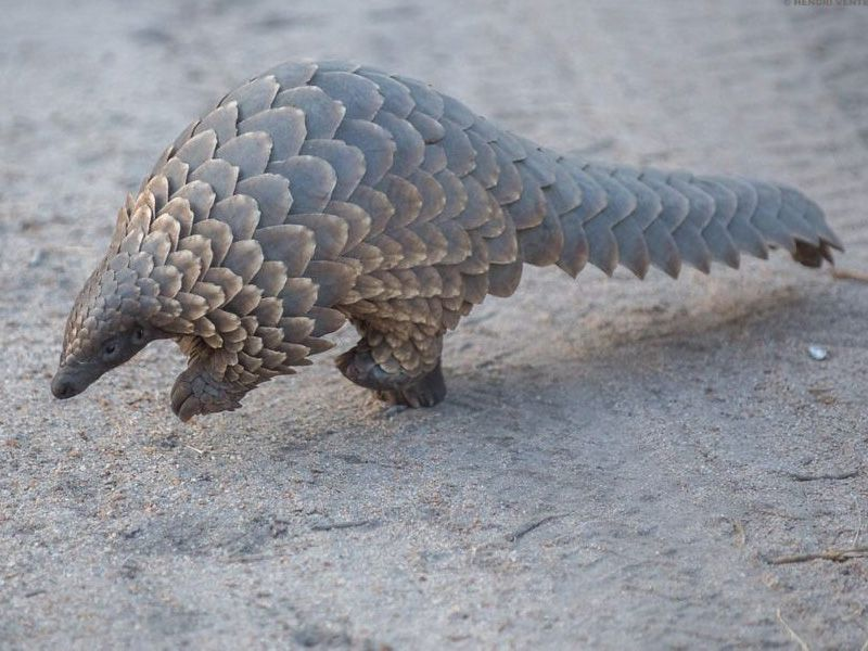 China Increases Protections for Pangolins | Smart News | Smithsonian  Magazine