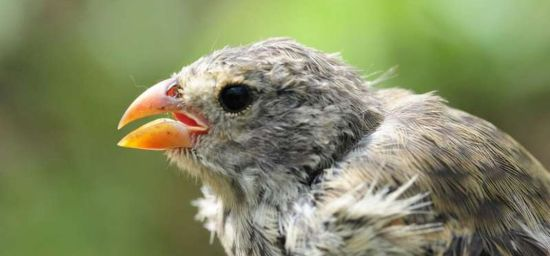 Parasites Ruin the Songs of Darwin's Finches
