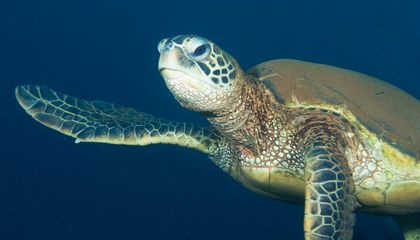 Green Sea Turtles Are Bouncing Back Around U.S. Pacific Islands