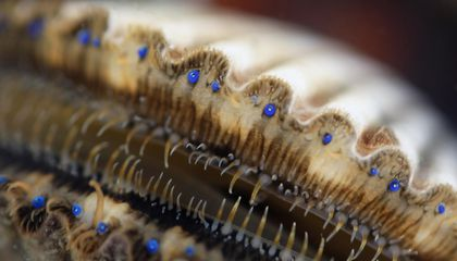 What Scallops' Many Eyes Can Teach Us About the Evolution of Vision