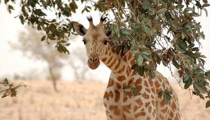 The United States May List Giraffes as an Endangered Species