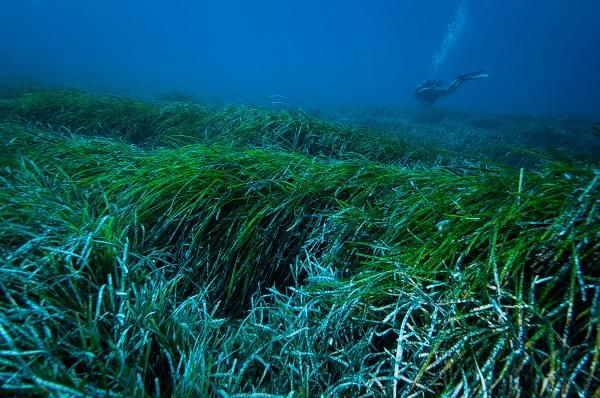 A species of seagrass called Posidonia oceanica found in the Mediterranean