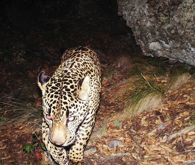 Bugbee Installed Cameras In The Santa Rita Mountains Yielding Images Of El Jefe Courtesy Catalyst