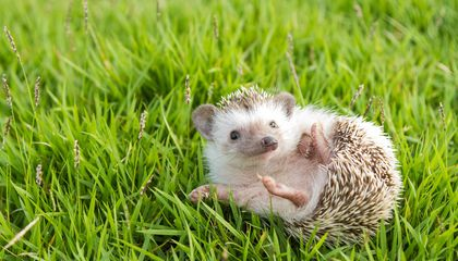 CDC Cautions Against Kissing Pet Hedgehogs