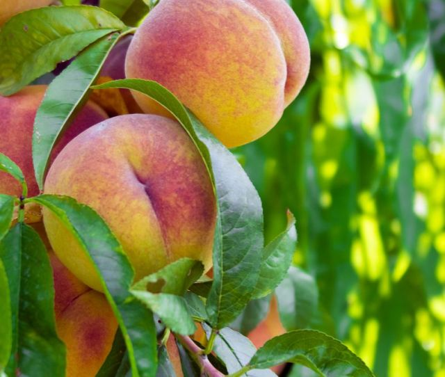The Fuzzy History Of The Georgia Peach