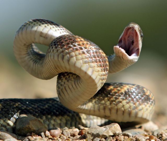 To Scientists Surprise Even Nonvenomous Snakes Can Strike At